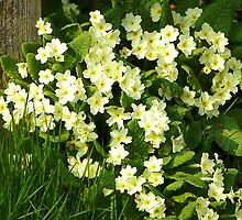 Primroses, a Messenger of Spring by hootonles