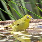 Little white-eye by Elizabeth Kendall