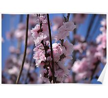 Blossoming Peach Tree Poster