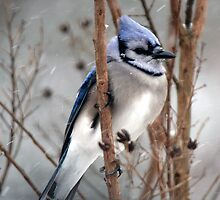 January Snow - Blue Jay by WalnutHill