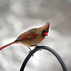 St. Patrick's Day Snow - Female Northern Cardinal by WalnutHill