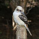 Kookaburra Watch by Jacqueline  Murphy
