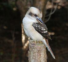 Kookaburra Watch by Jacqueline  Murphy