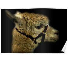 Profile - Alpaca Poster