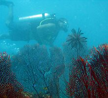 Fan corals and scuba diver by photoeverywhere