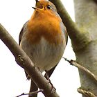 A chirpy singing Robin by Lorna Taylor