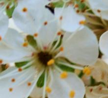 Tree blossoms Sticker