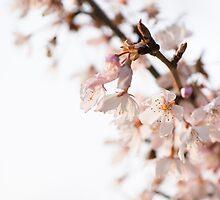 Evening Cherry Blossom by Anne Gilbert