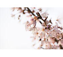 Evening Cherry Blossom Photographic Print