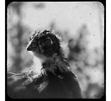 Magnificent Chicken Photographic Print