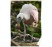 Roseate Spoonbill Youngster Poster