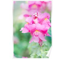 Pretty Pink Snapdragons Poster