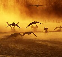 20.3.2014: Swans at River II by Petri Volanen