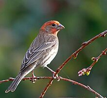 A Gorgeous House Finch by jozi1