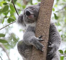 Koala - it's a tough life by RickLionheart