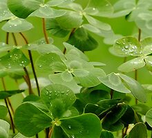 Four Leaf Clover - Nardoo by Gabrielle  Lees