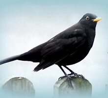 Blackbird on the Fence by JacquiK