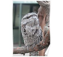 Tawny Frogmouth - 3 Poster