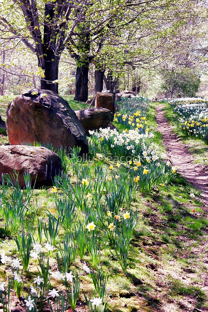 Daffodil Path by Polly Peacock