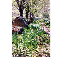 Daffodil Path Photographic Print