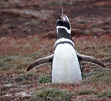 "Magellanic Penguin ~ ""Sing out loud"" by Robert Elliott"