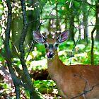 Roe deer in the woods by Benjamin Gelman