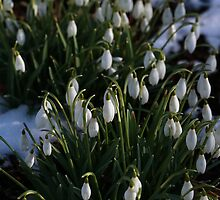The First Snowdrops by Irina777