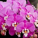 Orchid -  Phalaenopsis - Tickled pink by Mike  Savad