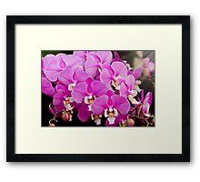 Orchid -  Phalaenopsis - Tickled pink Framed Print