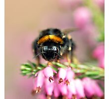 Early Bumblebee Photographic Print