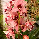 Orchid - Cymbidium - Vivien hainsworth x trinket by Mike  Savad
