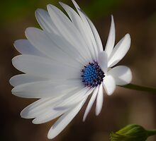 scared daisy  by jhawa