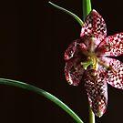 spring star by yvesrossetti