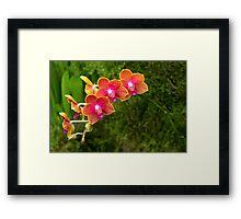 Orchid - Phalaenopsis - Tying Shin Cupid Framed Print