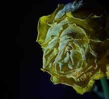 Yellow Rose by timkouroff