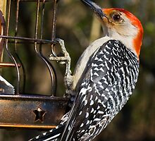 Our Resident Red-bellied Woodpecker by Otto Danby II