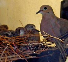 MOURNING DOVE NESTING WITH BABIES by JAYMILO