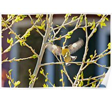 Springtime Mating Pair Of Lesser Goldfinches Poster