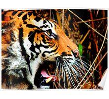 Tiger Yawning Poster