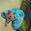 Birds of a Feather: Ocellated Turkey by alan shapiro
