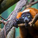 Red-ruffed Lemur by alan shapiro