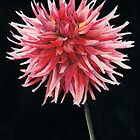 Single Dahlia by Ken Powers