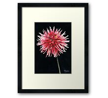 Single Dahlia Framed Print