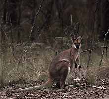 Wallabies like their mushrooms raw by Clare Colins