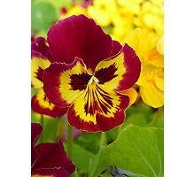 Pouting Pansy Photographic Print