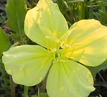 Magnificent Evening Primrose -Oenothera macrocarpa by Navigator