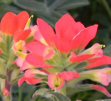Indian Paintbrush, a Closer Look by Navigator