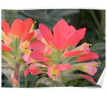 Indian Paintbrush, a Closer Look Poster