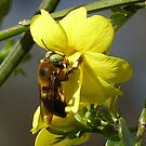 Bumble Bee ~Xylocopa micans - male by Penny Odom