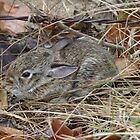 Baby Texas Cottontail Rabbit by Penny Odom